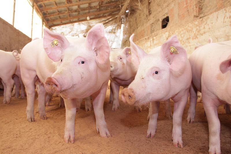 Crespeo stellt Futtermittel aus Weizen Nebenprodukten für die Fütterung von Schweinen her | Crespel & Deiters