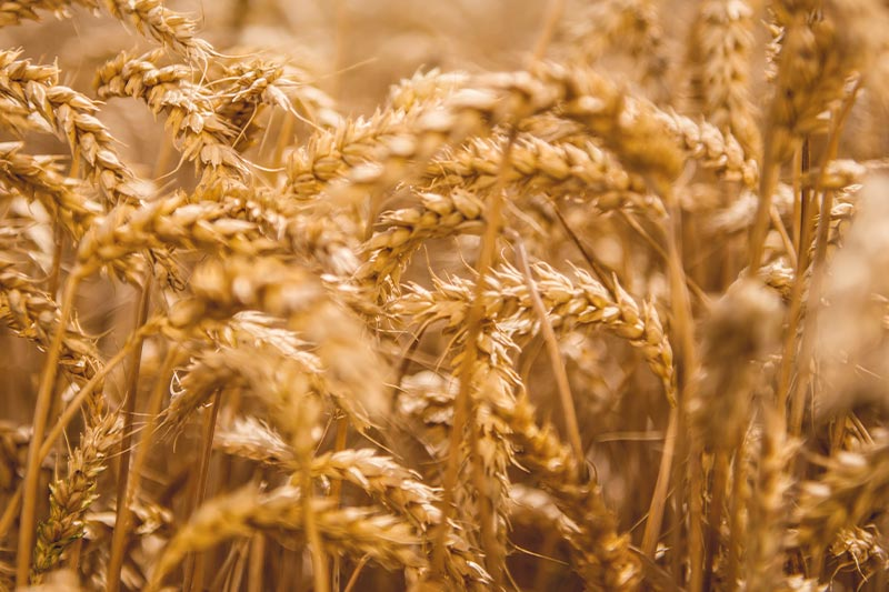 Leading producer of wheat starches and wheat proteins in Europe | Crespel & Deiters