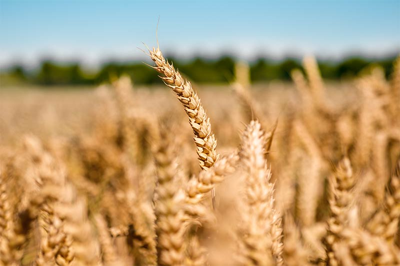 The starch industry is a competent and important partner for the feed industry and agricultural enterprises. Crespeo produces high-quality feed by first separating wheat in a special and by subsequently refining it. | Crespel & Deiters