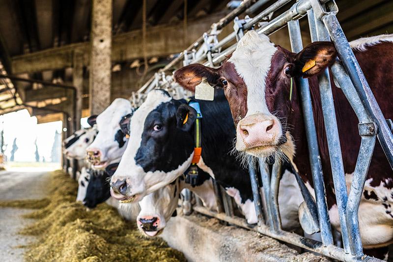 Weizenstärke wird in Rinderfutter verwendet und steigertt die Wirtschaftlichkeit durch den erhöhten Nährstoffgehalt | Crespel & Deiters