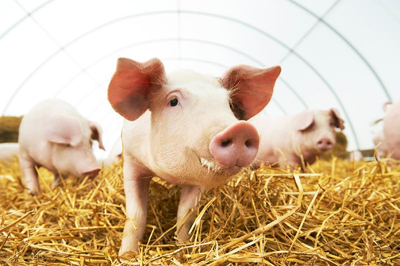 Weizenstärke wird in Flüssigfuttermittel für Schweine verwendet und bietet einen hohen Stärkeanteil bei guter Verdaulichkeit | Crespel & Deiters